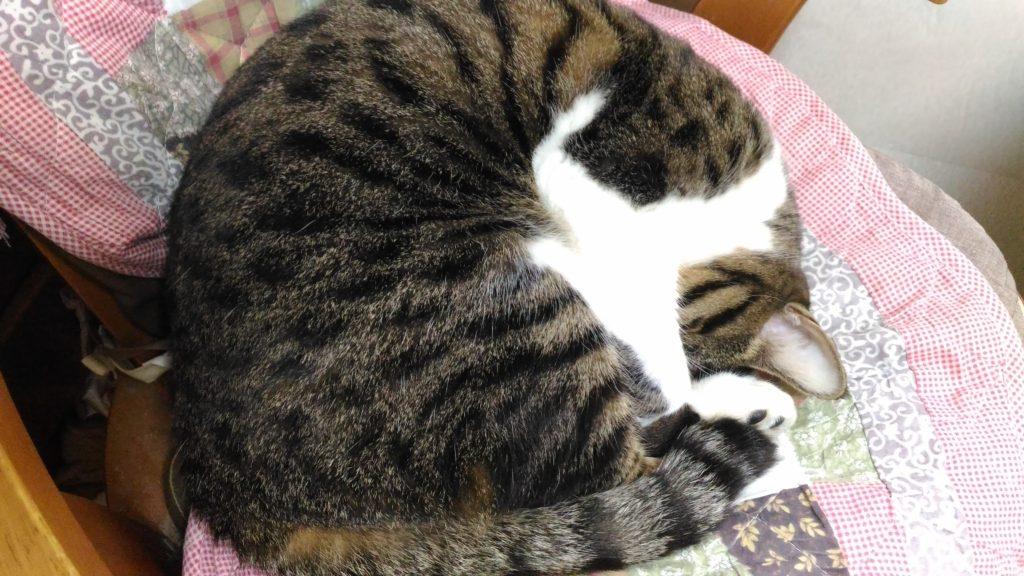 丸くなって寝る大福丸