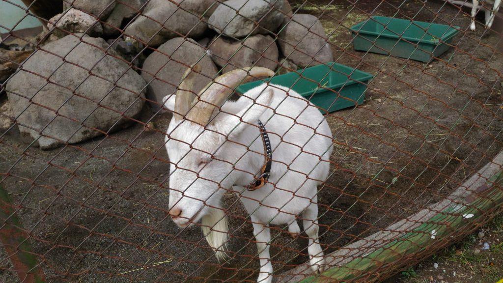 餌をねだるヤギ2