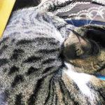 筆者の膝の上で寝る大福丸