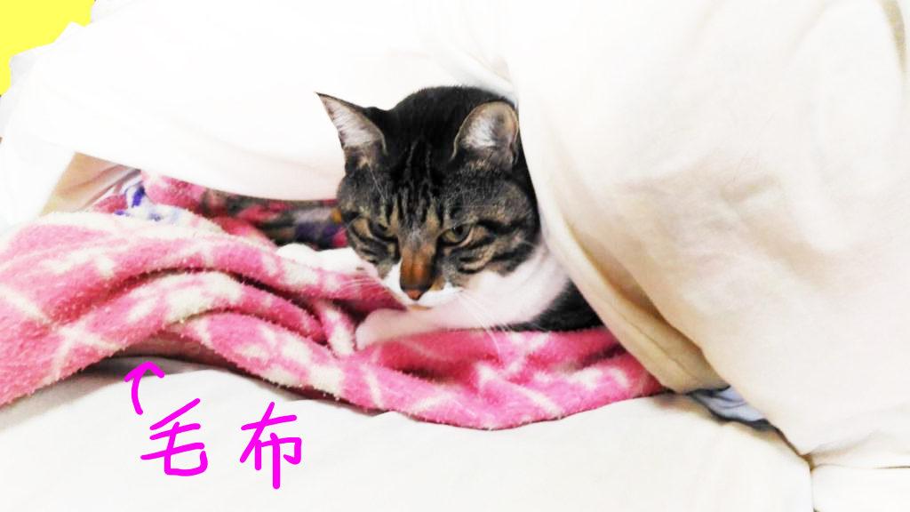 毛布を敷いてぬくぬくする大福丸