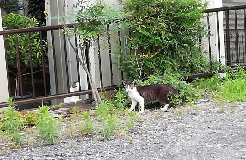 近所の猫7