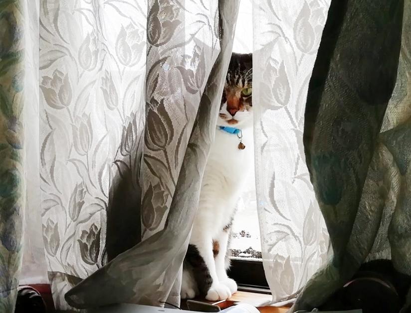 カーテンから姿が見える大福丸