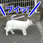そっぽを向く白猫