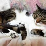 布団の上で寝る大福丸