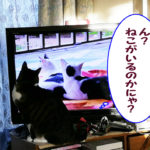 テレビに映る猫を気にする大福丸